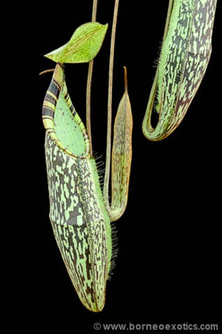 Nepenthes spectabilis Sibuatan - Small