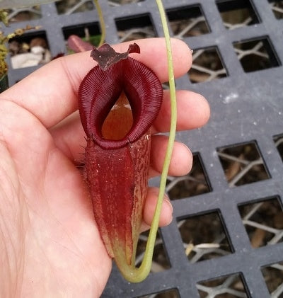 Nepenthes maxima x jacquelineae - Medium/Large
