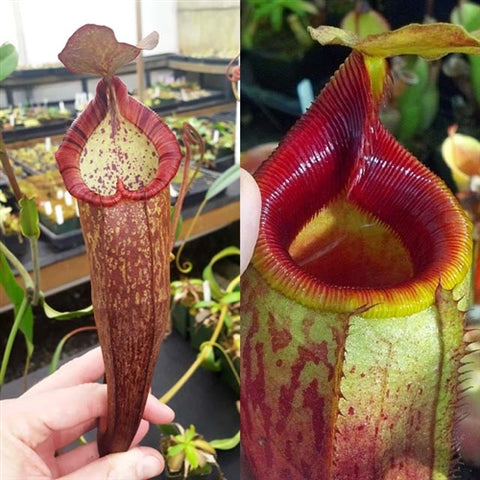 Nepenthes Dream Mirror