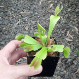 "Venus Flytrap ""King Henry"" - Small"
