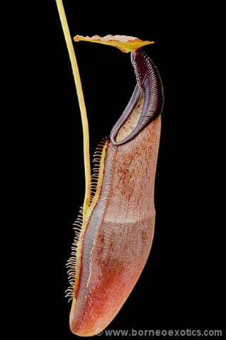 Nepenthes izumiae - Small