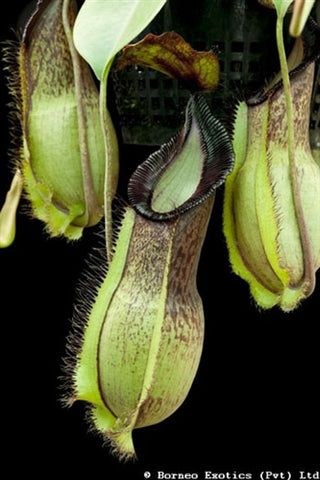 Nepenthes spathulata x hamata - Medium
