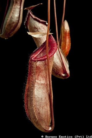 Nepenthes densiflora x ventricosa - Small/Medium