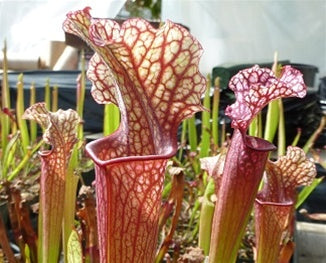 Sarracenia 'Judith Hindle' - Small