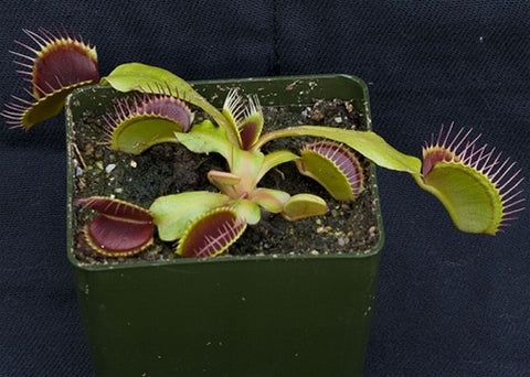 Venus flytrap seeds - 100 ct.