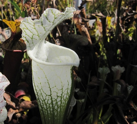 "Sarracenia leucophylla ""Hurricane Creek White"" - medium"
