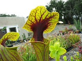"Sarracenia flava ""Extreme Red Throat"" - Medium"