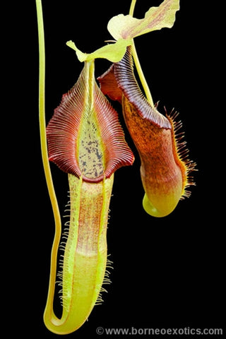 Nepenthes singalana Belirang - Small/Medium