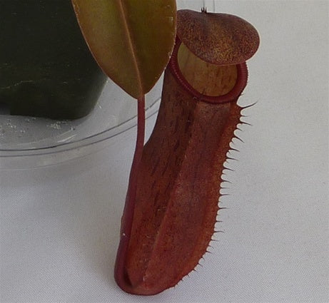 Nepenthes 'Black Knight' - Medium