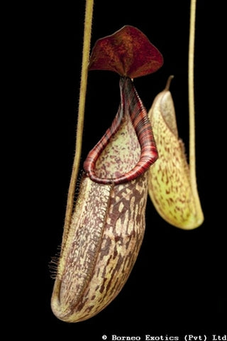 Nepenthes petiolata x spectabilis - Small