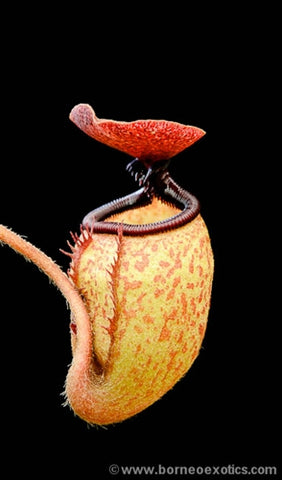 Nepenthes argentii - Small