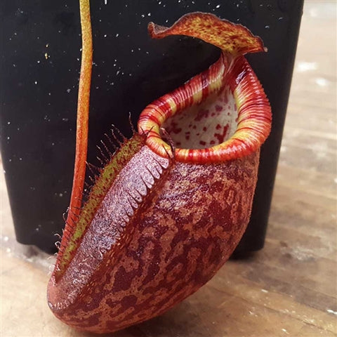 Nepenthes Dream of Triumph - Small