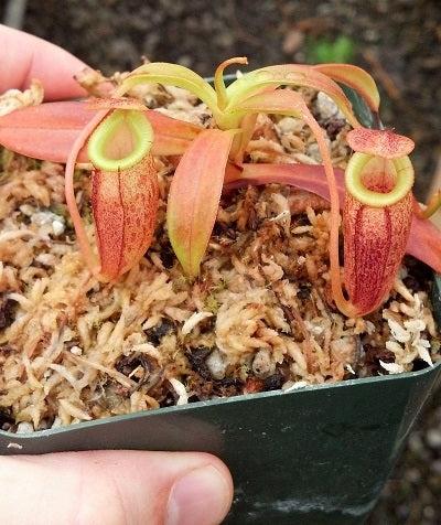 Nepenthes spectabilis x jacquelineae - Small