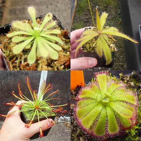 Bulk Mixed Sundews (Drosera) - 20 ct.