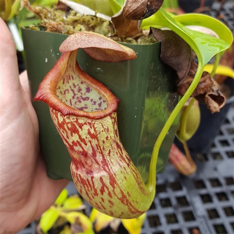 Nepenthes campanulata x robcantleyi - Medium