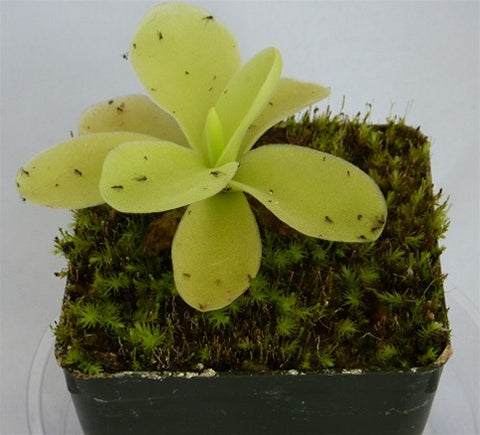 Pinguicula gigantea - Small