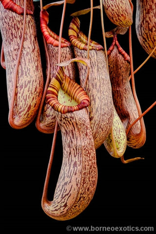 Nepenthes spectabilis x ventricosa - Small/Medium