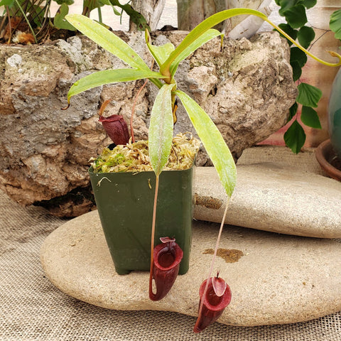 Nepenthes jacquelineae - Great Specimen