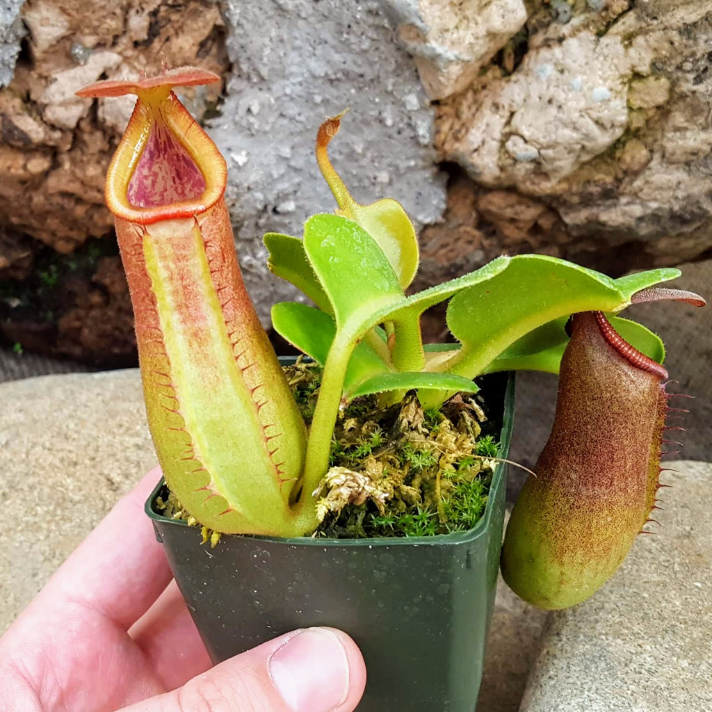 Nepenthes truncata | Tropical Nepenthes Pitcher Plant