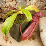 "Nepenthes ""Red Dragon"" - Large Basal"