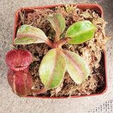 Nepenthes Titanic Empire - Specimen E