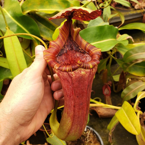 "Nepenthes ""Love"" - Female"