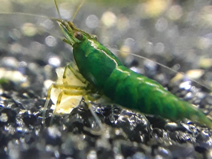 10 Green Jade Shrimp