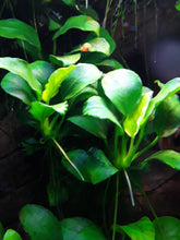 Load image into Gallery viewer, Anubias Nana Petite