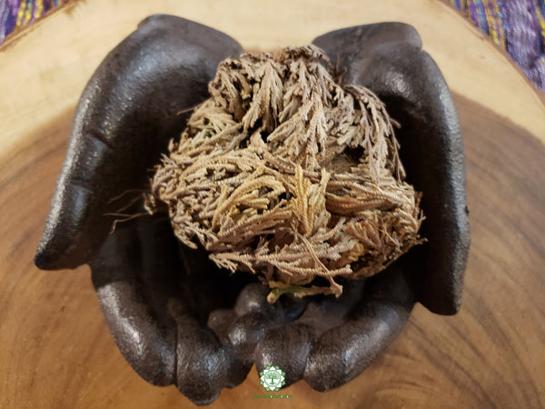 Rose of Jericho (Resurrection Plant, Dinosaur Plant, Jericho Rose) ~ 4-5 inches long