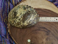 Abalone Shell (6-6.75 inches) with 6 inch Wooden Tripod Stand