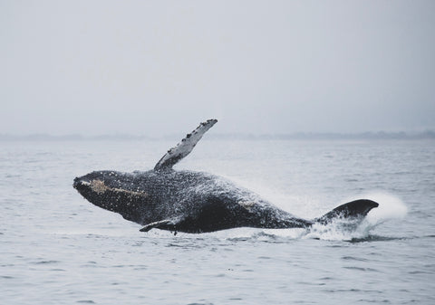 Humpback whales migrate great distances.