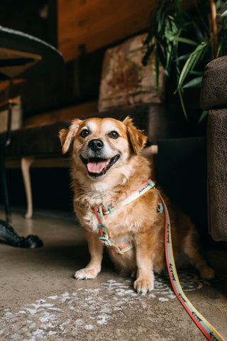 Happy dog wearing Wild at Heart Foundation harness