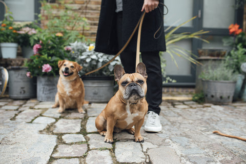 Archie and Marley in a London Mews, wearing our Carbon Black Collar and Lead