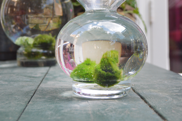 Marimo Balls: The Perfect Indoor Water Garden