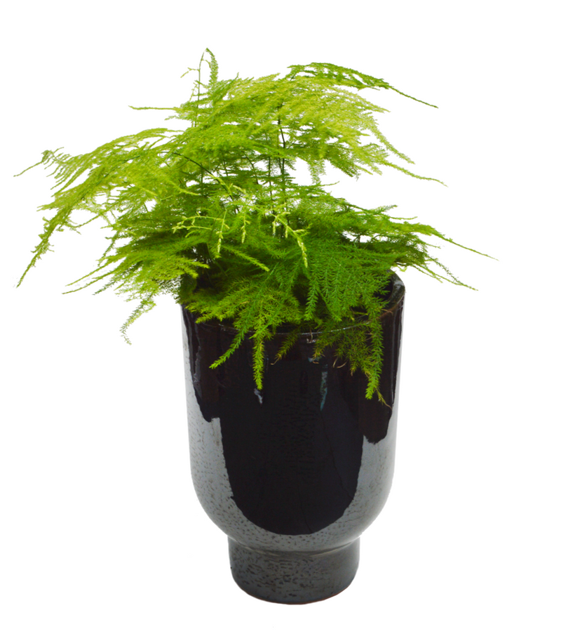Asparagus Fern available for plant delivery at Cuemars London