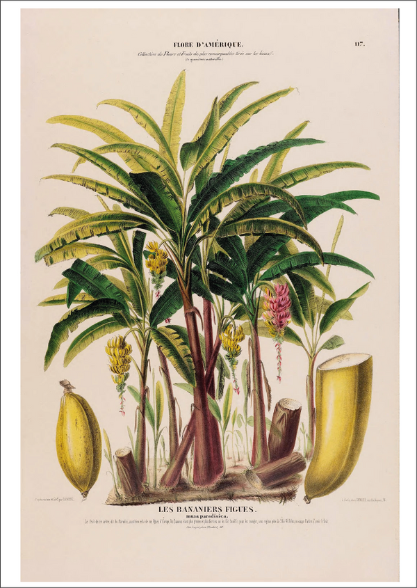 Banana Tree Botanical Artworks Cuemars