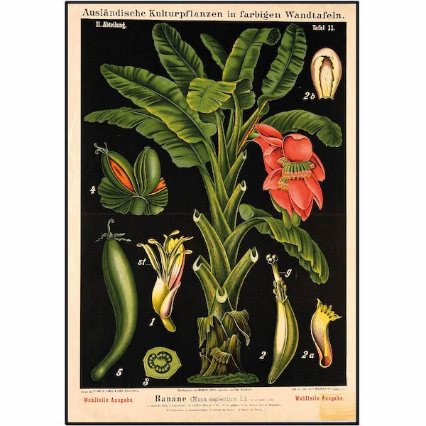 Banana Tree with red flower Vintage Botanical Illustration Cuemars