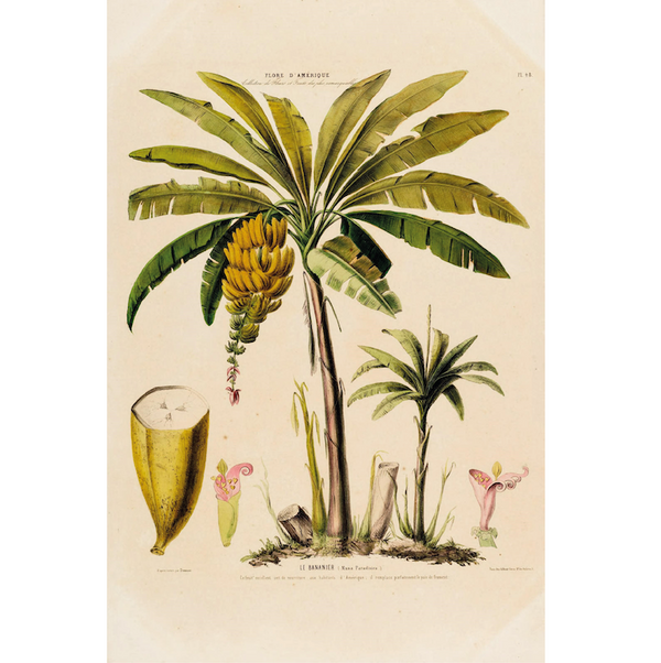 Banana Tree vintage botanical illustration Cuemars