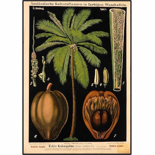 Black Coco Palm Tree - Botanical Print