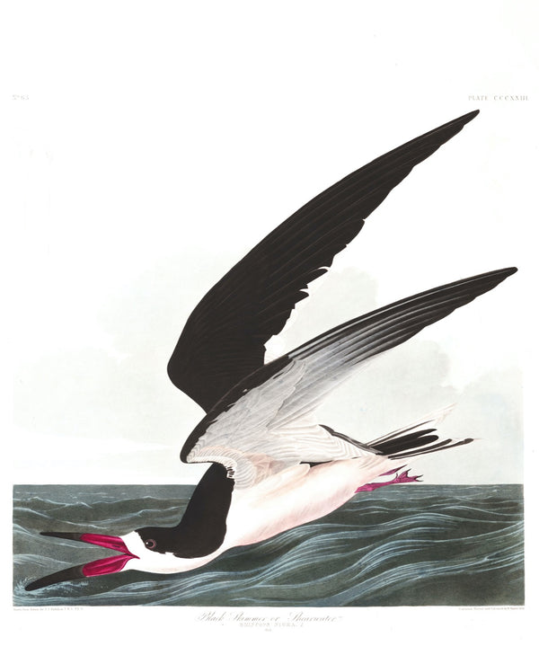 A3 botanical illustration by John Audubon showcasing a black skimmer fishing available at cuemars.com