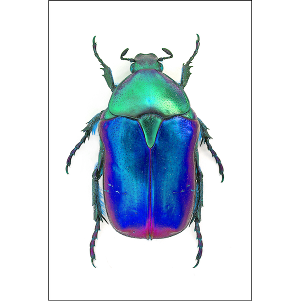 Rose Chafer | Green & Blue Beetle A3 Insect Print | Available at Cuemars