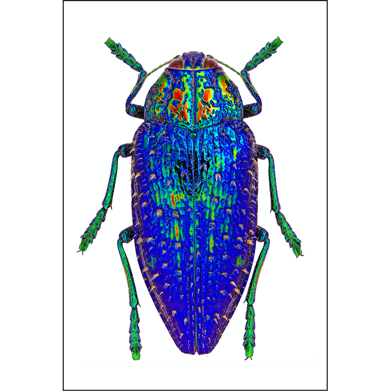 Blue-jewel-beetle-print-cuemars