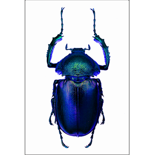 Blue scarab print insect artwork Cuemars