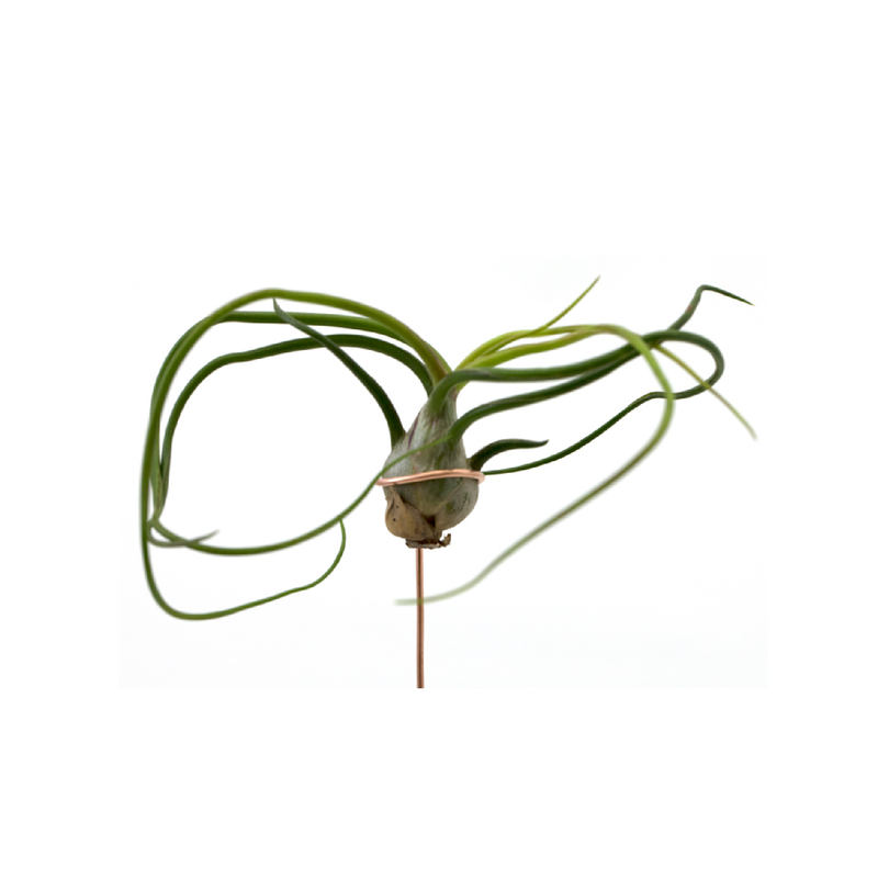 Airplant - Bulbosa