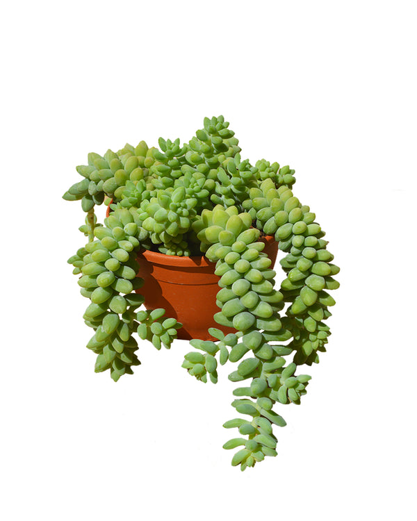 picture of a burro's tail also known as donkey tail succulent, available now at Cuemars