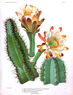 Flowering Cactus - Vintage botanical prints - Cuemars