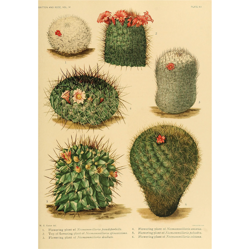 Flowering Cactus - Botanical Print