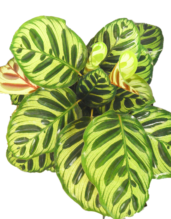 Picture of striking leaves of a Calathea Peacock available online and at our shop Cuemars