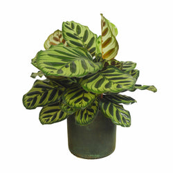 Picture of a Calathea Peacock available online and at our shop Cuemars