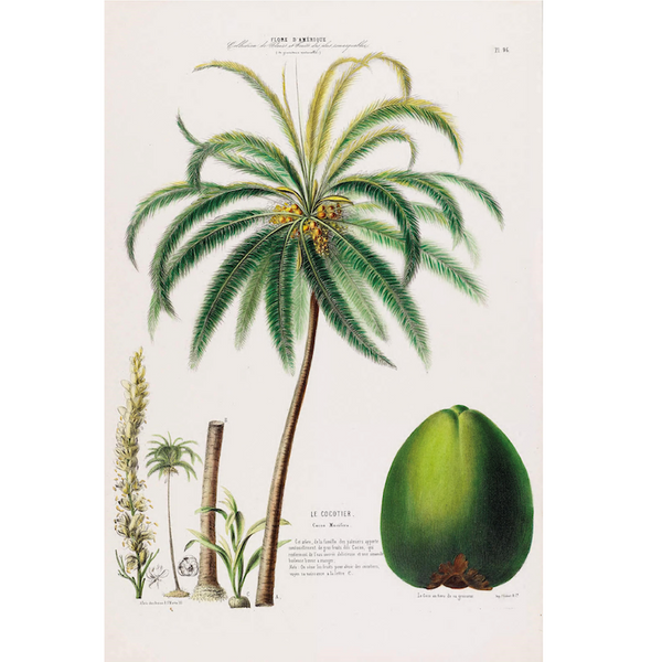 Coconut-Tree-Botanical-llustration-cuemars